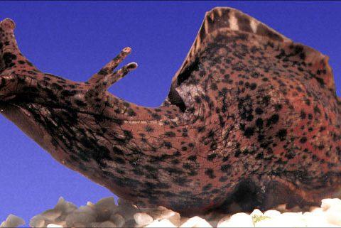 Aplysia-californica