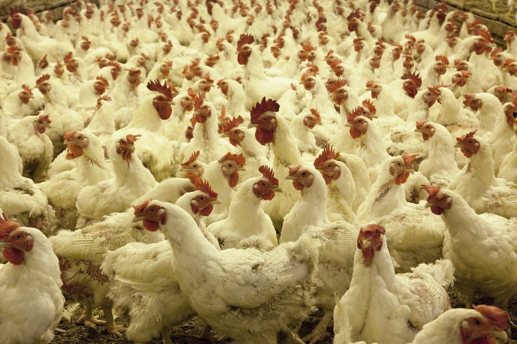 Poultry Farm - Unsustainable
